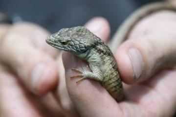 Dragoncito Sierra Morena: una nueva especie de Chiapas