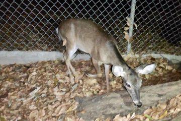 Asegura Fiscalía Ambiental ejemplar de fauna protegida en Villaflores