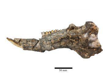 Hallan restos de un roedor prehistórico de hace 13 mil años