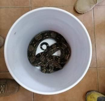 Sorprende presencia de una Boa Constrictor en domicilio de Tuxtla