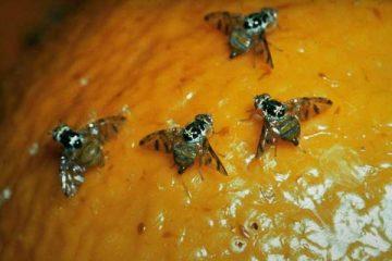 Contenido el avance de la plaga de la mosca del mediterráneo en la frontera sur de México: Senasica