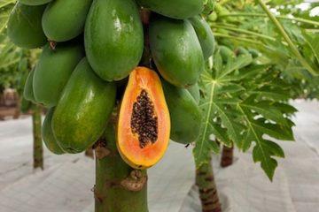 Oaxaca, Colima y Chiapas, principales productoras de papaya durante 2020